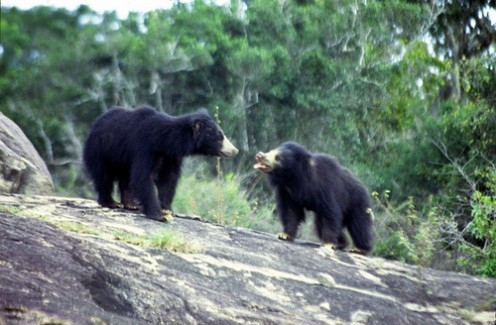 Sri Lanka Wildlife Sloth Bears