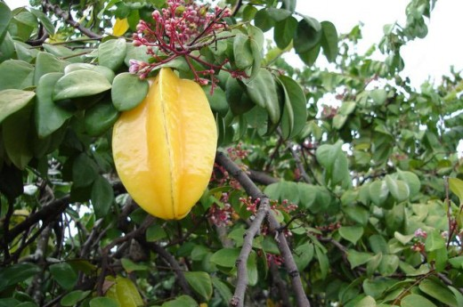 Starfruit and blossoms growing in a tree.
