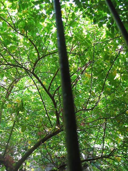 The tree that starfruit grows on in Indonesia.