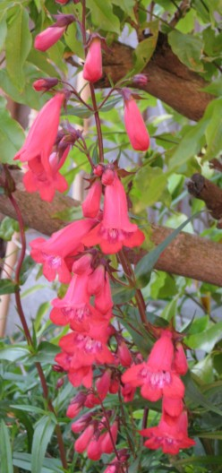 Photo: a plant with tubular shaped flowers - Penstemon.