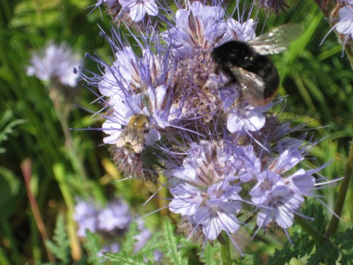 Photo:Phacelia an attractive green manure plant with bees visiting the flowers.