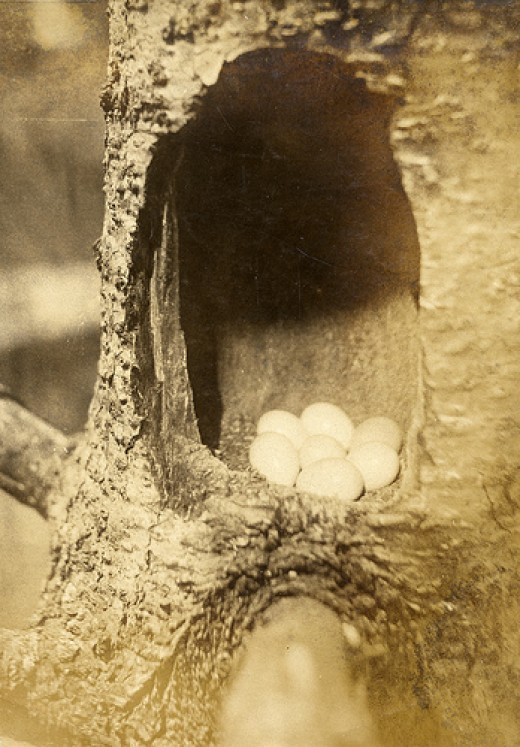 Clutch of typical Flicker eggs/photo courtesy Flickr.com.