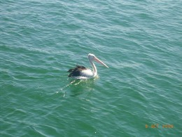 Would you miss the majestic pelican who seem equally undisturbed by your comings and goings..