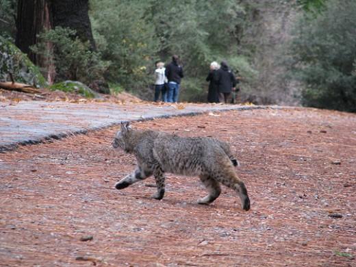Wild Bobcat
