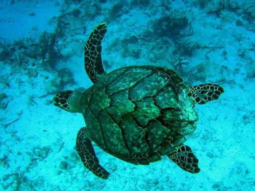 Critically endangered Hawksbill Turtle.