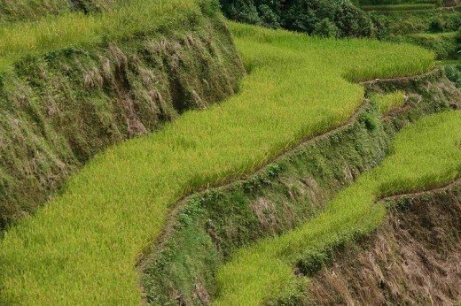 Rice growing on terraces