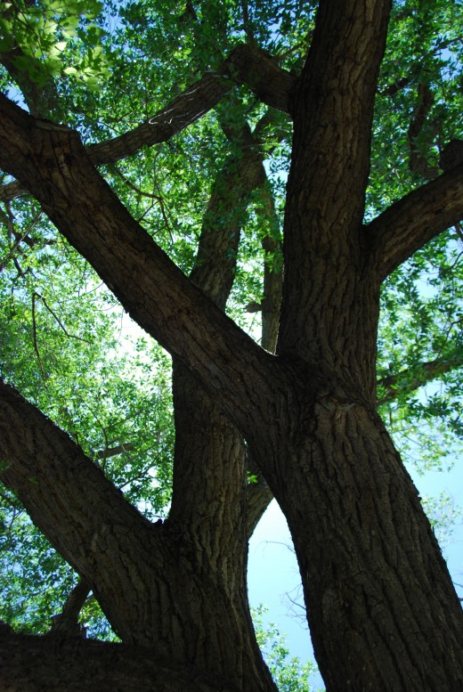 Grand Old Cottonwood Tree