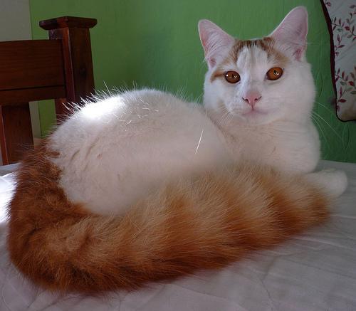 A Turkish Van cat.  But it's just a cat- not Ataturk.