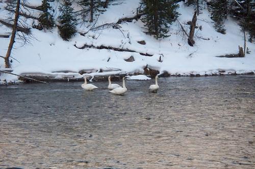 Swans at Yellowstone.