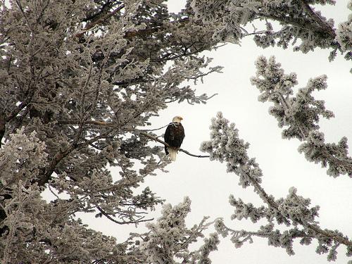 Bald Eagle at Yellowstone.