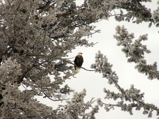 Bald Eagle at Yellowstone.