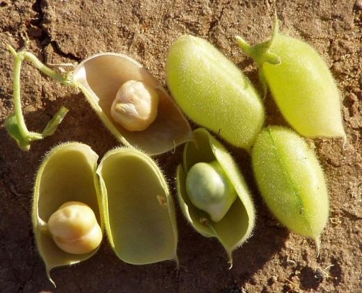Chickpeas, or Garbanzo beans