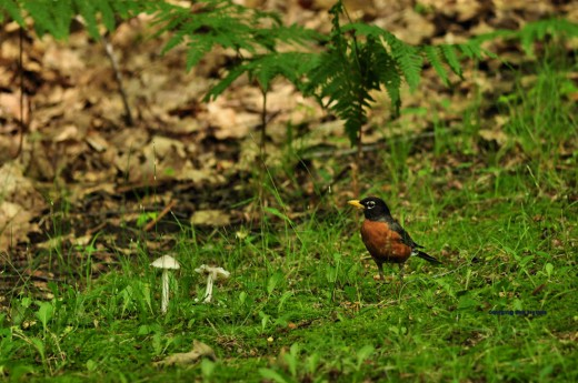 A robin at the edge of the yard.