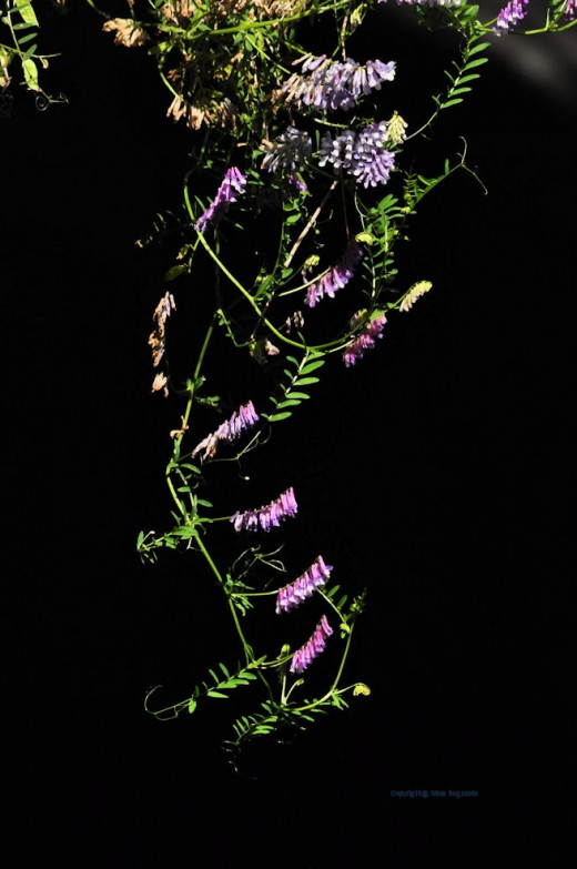 A strand of vetch hangs down from the road over the gaping black hole of a culvert I call The Big Ugly.