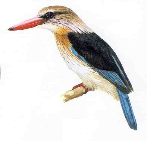 "A brown headed kingfisher. Since I couldn't get a photo of my visitor I use this illustration from Kenneth Newman's ""Birds of South Africa"""