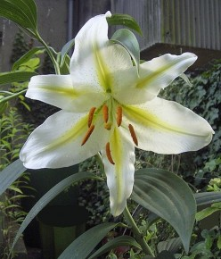 Golden rayed lily of Japan  (wikipedia.com)