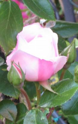 photo: pink rose