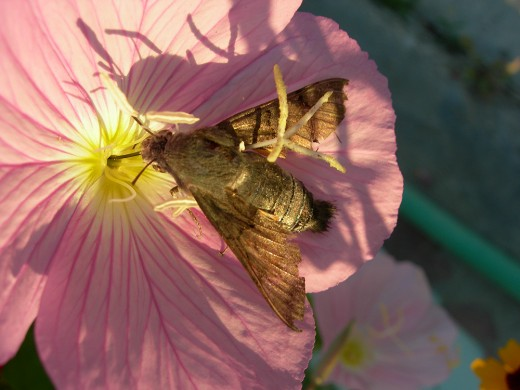 other creatures like moths help the plants to pollinate Photograph courtesy of Edal-Anton Lefterov