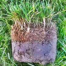 Lawn Thatch in Grass