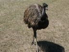 Hard to get to an emu in the bush. They run fast !