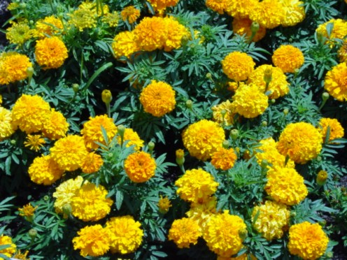 Marigolds planted in your garden will help to keep away garden pests.