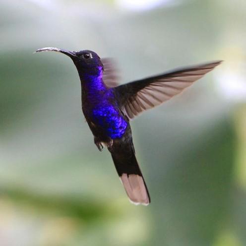 Violet Sabrewing  (wikipedia.com)