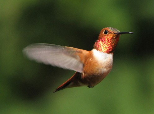 Rufous Hummingbird  (wikipedia.com)
