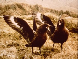 Skuas are fierce oportunists.  I've seen them tackle a white football thinking it was a large egg