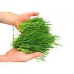 How Wheatgrass Can Change Your Life