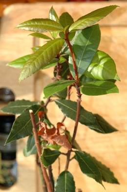 Bay leaf, growing.  I wish I had one of these in my house!