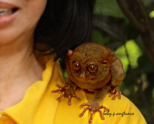 A tarsier on my shoulder