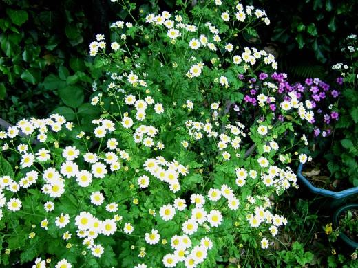 Feverfew produces a plethora of flowers Photograph by D.A.L.