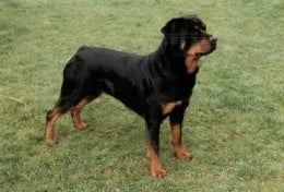 Rottweiler with docked tail