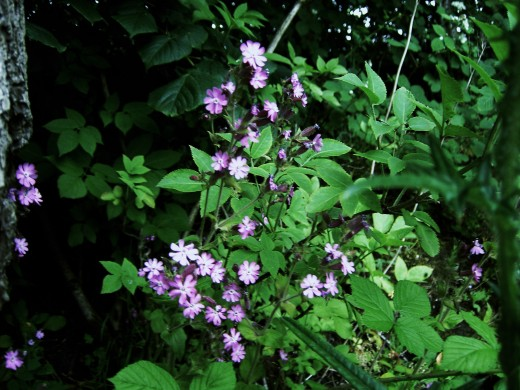 Red  campion thrives in shady places.Photograph by D.A.L.