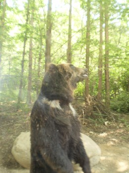 See bears and other animals from the comfort and safety of the safari bus ride.
