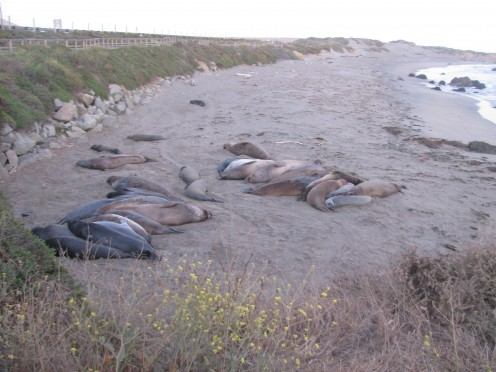 Sea Elephants near San Simeon, CA