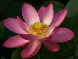 Flowering Lotus...being open and receptive to knowing...