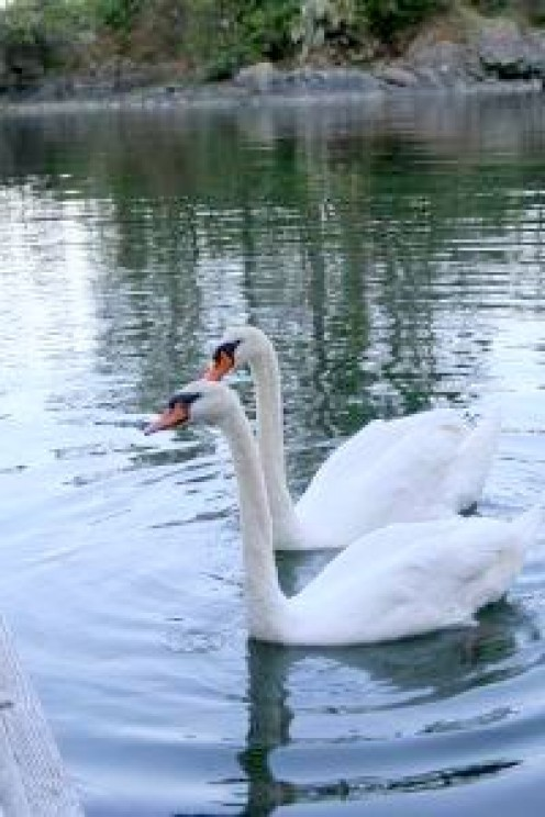 Swans and other birds frequent the sheltered area in the fall.