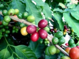 Coffee Fruit is an ingredient in Syzmo Organic Energy Beverage