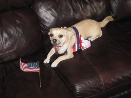 A patriotic chihuahua dresses up for the 4th of July