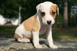 How to teach a puppy to sit, stay and wait  Courtesy of Wikimedia Commons