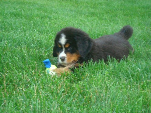 How to teach a puppy to stay  Courtesy of Wikimedia Commons