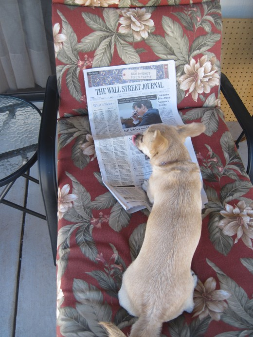 Our chihuahua, Chika, reading the morning paper on the patio