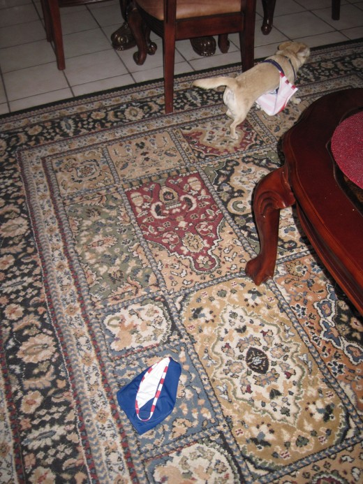 Our chihuahua, Chika, in search of my wallet