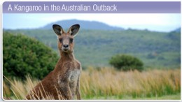 a kangaroo in the Australian outback