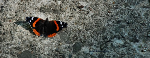 A red admiral probably is seeking salts from the cement.