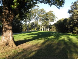 A stand of beautiful gum trees in a park just ten minutes walk away from my home