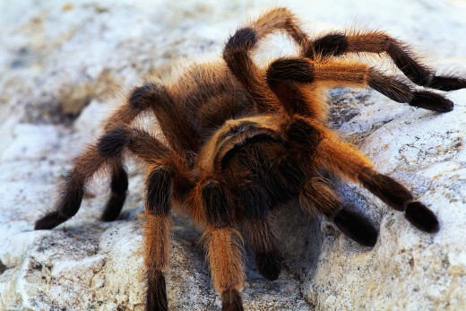 common Tarantula found in the southwest U.S. and other countries.