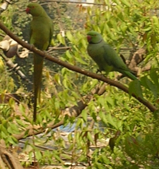 our friendly neighbourhood parrots green