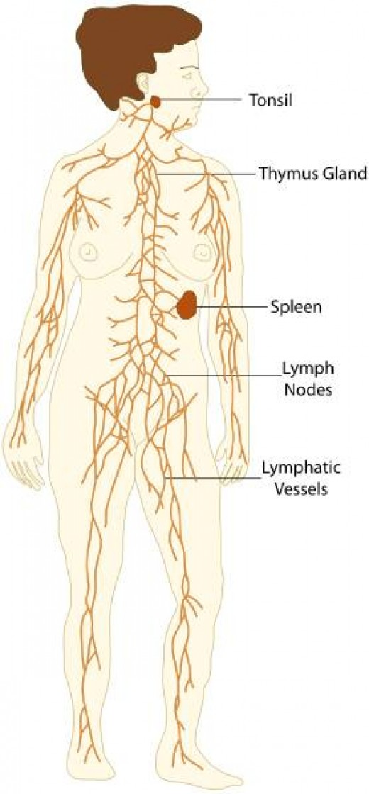 The Lymphatic System This is a file from the Wikimedia Commons.  Author The EMIRR